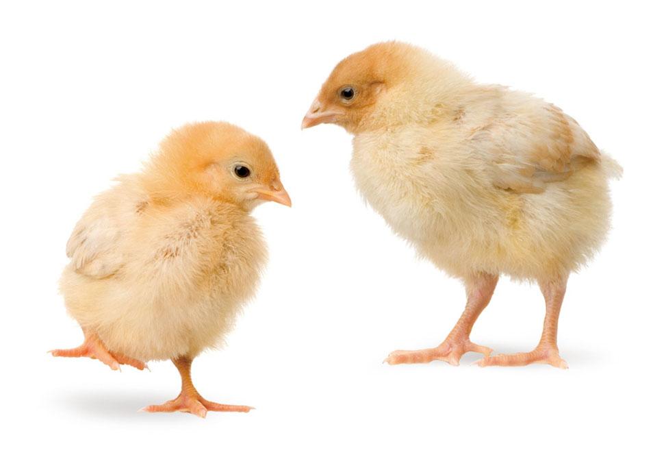 雞生日食鴨
